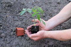 Tomato seedling with clod of earth in palms of hands. Close up. Stock Images