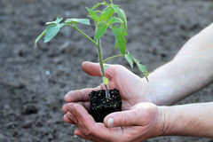 Tomato seedling with clod of earth in palms of hands. Close up. Royalty Free Stock Photos