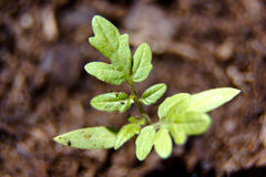 Tomato seedling close Royalty Free Stock Images