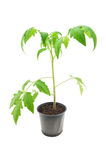 Tomato seedling closeup. Tomato seedling isolated on a white background Royalty Free Stock Photography