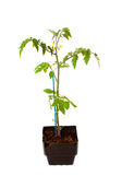 Tomato Seedling with Flowers Royalty Free Stock Photography