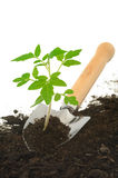 Tomato seedling on garden trowel, isolated Stock Photography