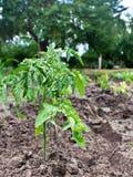 Tomato seedling growing Stock Images