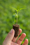 Tomato Seedling in the hands of agriculture Organic gardening Stock Photo