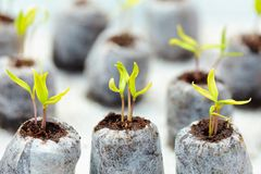 Tomato seedling in peat balls Royalty Free Stock Photography