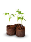 A tomato seedling in the peat pot, isolated Stock Images