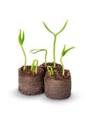 A tomato seedling in the peat pot, Stock Image