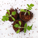 A tomato seedling in the peat pots Royalty Free Stock Photos