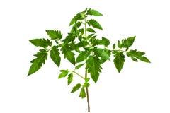 Tomato seedling plant isolated on white, closeup Stock Photography
