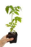 Tomato Seedling Plant Royalty Free Stock Image