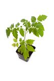 Tomato Seedling Plant Royalty Free Stock Photos