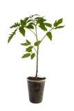 Tomato seedling plant Stock Image