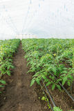 Tomato seedling before planting into the soil, greenhouse plants, drip irrigation, greenhouse cultivation of tomatoes in stock image