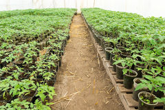 Tomato seedling before planting into the soil, greenhouse plants, drip irrigation, greenhouse cultivation of tomatoes in royalty free stock photo