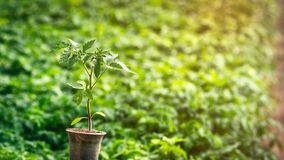 Tomato seedling in a plastic cup on the background of many plants. In the greenhouse royalty free stock images