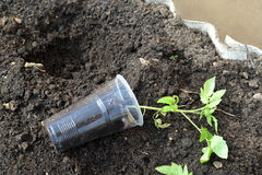 Tomato seedling in a plastic glass before landing to the greenho Stock Image