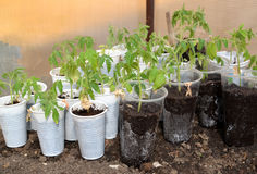 The tomato seedling in plastic glasses costs in the greenhouse Stock Photo