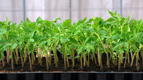 Tomato seedling in plastic tray. For experiment Royalty Free Stock Photos