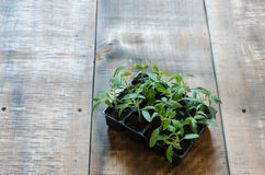 Tomato seedling in plastic tray Stock Images