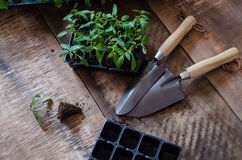 Tomato seedling in plastic tray Royalty Free Stock Photo