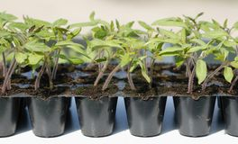 Tomato seedling in pot Royalty Free Stock Image