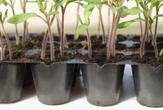 Tomato seedling in pot Royalty Free Stock Photo
