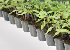 Tomato seedling in pot Stock Photo