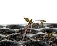 Tomato seedling Royalty Free Stock Image