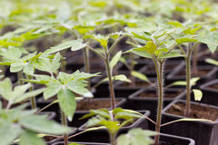 Tomato seedling pot in greenhouse Stock Photography