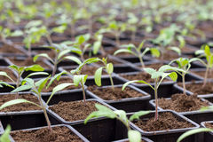 Tomato seedling pot in greenhouse Stock Photos