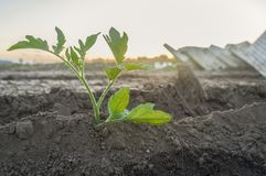 Tomato seedling recently planted Stock Photography