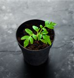 Tomato Seedling in tray for sprout. rustic table stock images