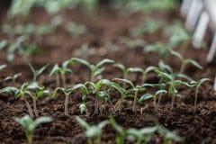 Tomato seedling Stock Photos