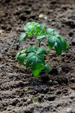 Tomato seedling Royalty Free Stock Images