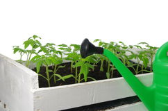 Tomato seedling Royalty Free Stock Photography
