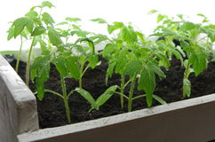 Tomato seedling Stock Photo