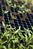 Tomato seedlings. Tommato seedlings in container ready for planting. Background out of focus Stock Images