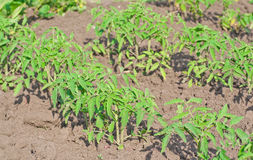 Tomato seedlings Royalty Free Stock Images