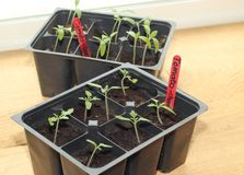 Tomato seedlings Stock Image