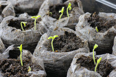 Tomato seedlings. It's spring: indoor garden starter kit with tomato sprouts growing out of peat, focus on the middle plant Stock Photos