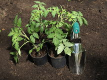 Tomato seedlings Stock Images