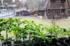 Tomato seedlings Stock Photos