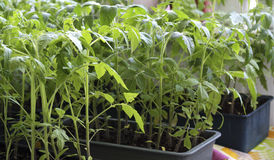 Tomato seedlings in boxes. Royalty Free Stock Images