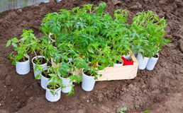 Tomato seedlings in cans Stock Photography