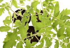 Tomato seedlings Royalty Free Stock Image