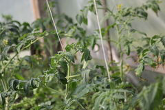 Tomato seedlings with flowers Royalty Free Stock Photo
