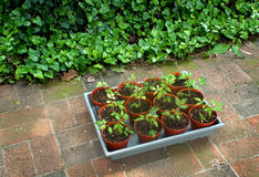 Tomato Seedlings for Garden Royalty Free Stock Photos