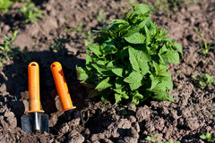 Tomato Seedlings and Garden Tools in the Beds Royalty Free Stock Photos