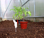 Tomato seedlings in the greenhouse Stock Photos