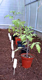 Tomato seedlings in the greenhouse Royalty Free Stock Photos